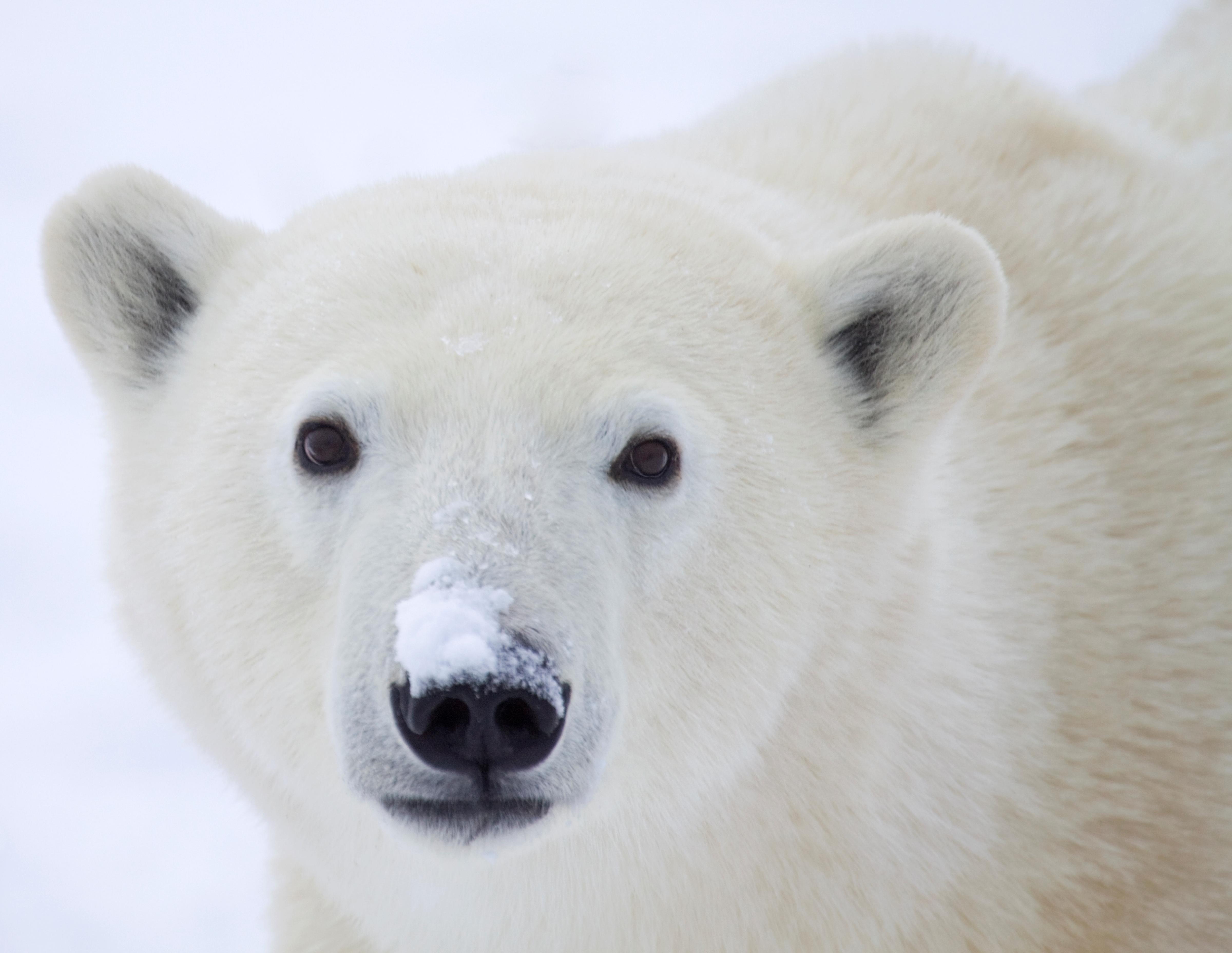 Día Internacional De Los Osos Polares