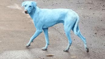 perros-azules-india.png