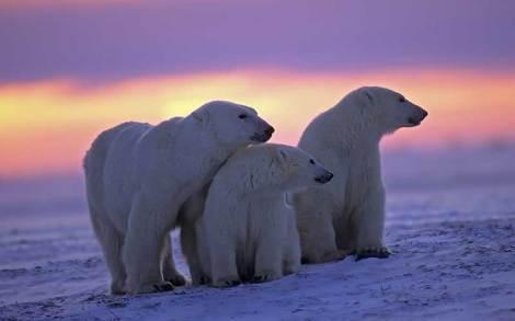 oso-polar1-800.jpg