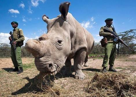 Muere-el-último-macho-de-los-rinocerontes-blancos2-1