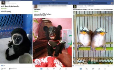 facebook_tailandia_venta_ilegal_especies_48658645864586458645